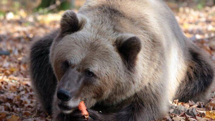 медведь рынок падение коррекция животное